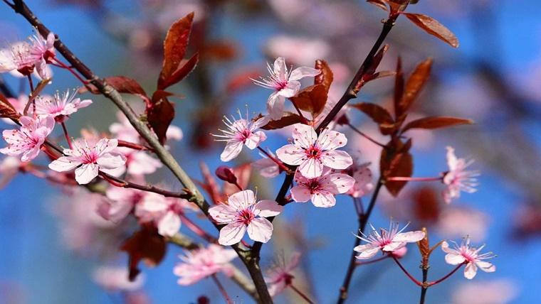 昭恵 夫人 お 花見